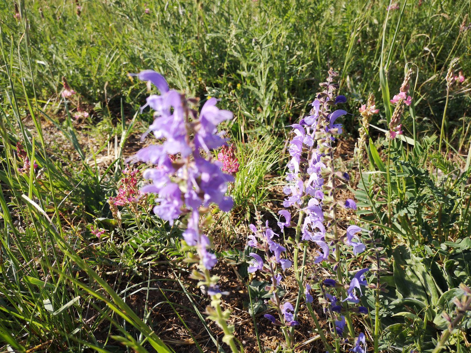 Salvia pratensis, sauge commune ou sauge des prés, apprécie tout particulièrement les terrains calcaires.