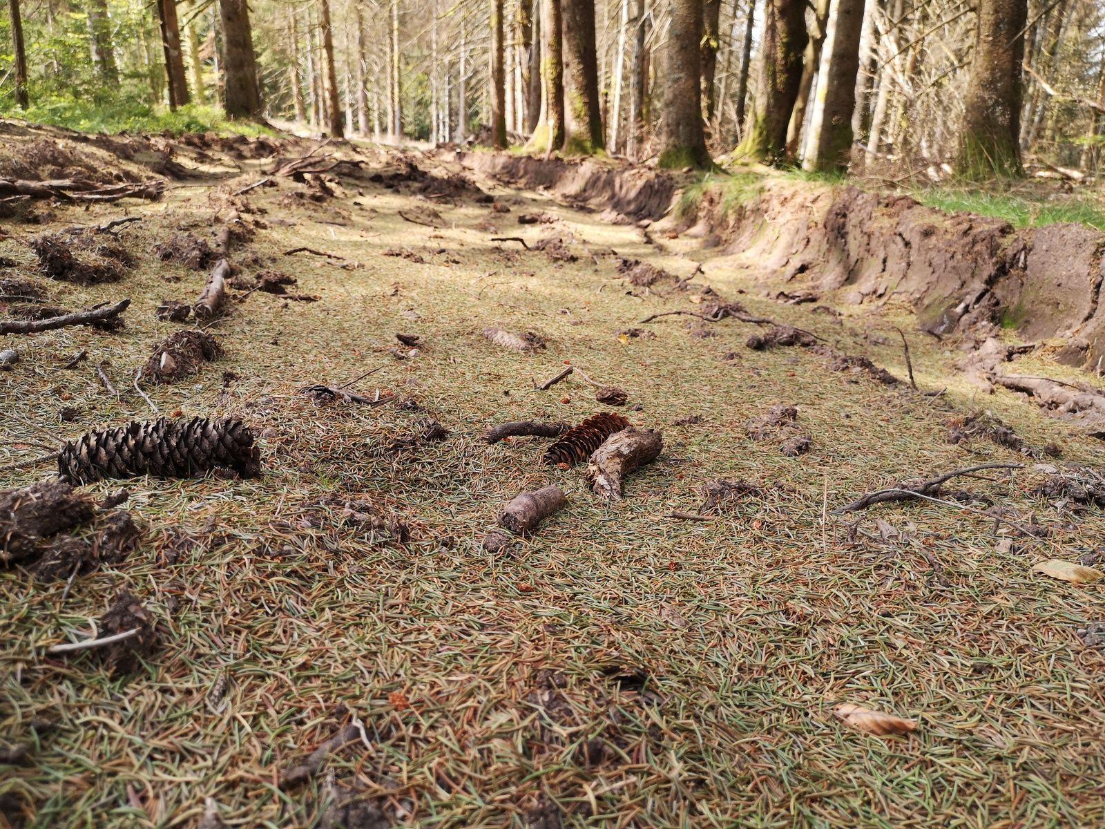 Un tapis d'aiguilles d'épicéa!!!! Malheureusement, ce n'est pas bon signe pour la forêt. La sécheresse et les scolytes font des ravages.