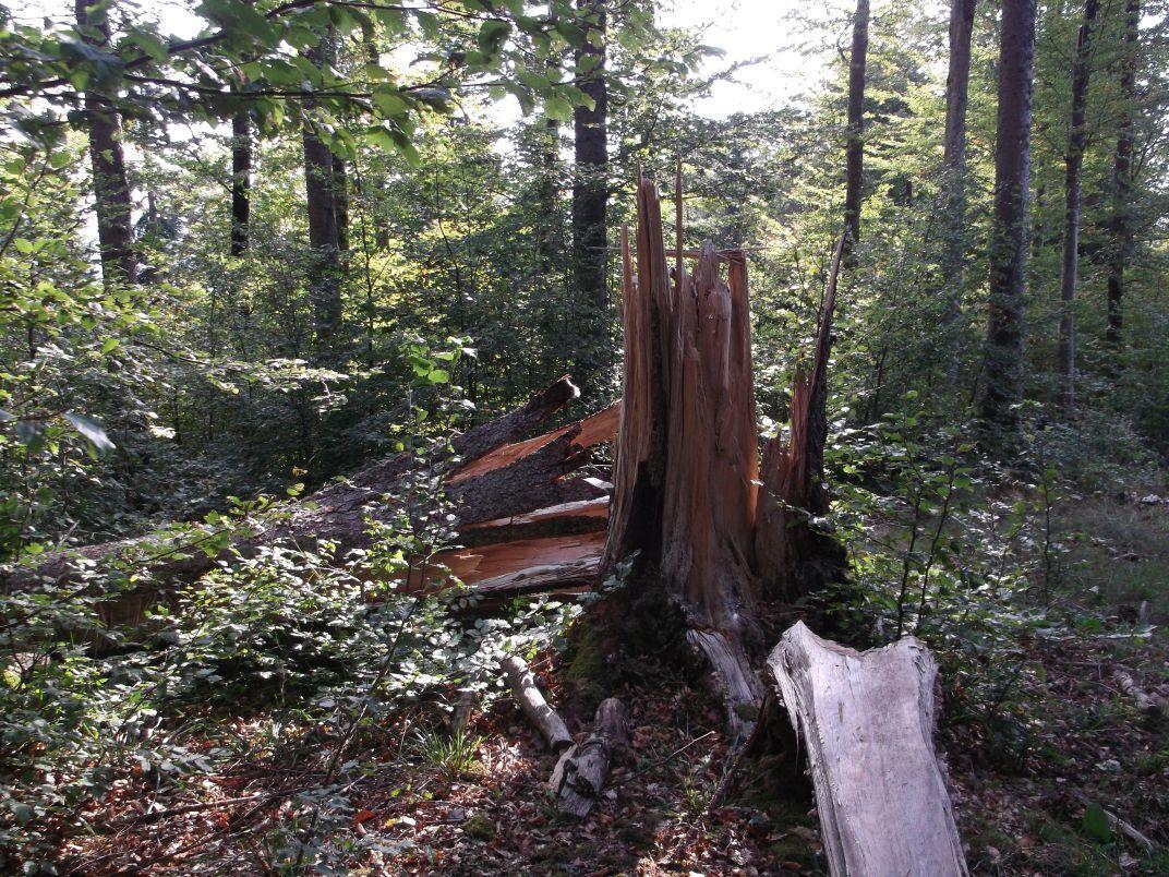 Cet arbre a craqué comme une allumette : il ne devait plus avoir de cœur…
