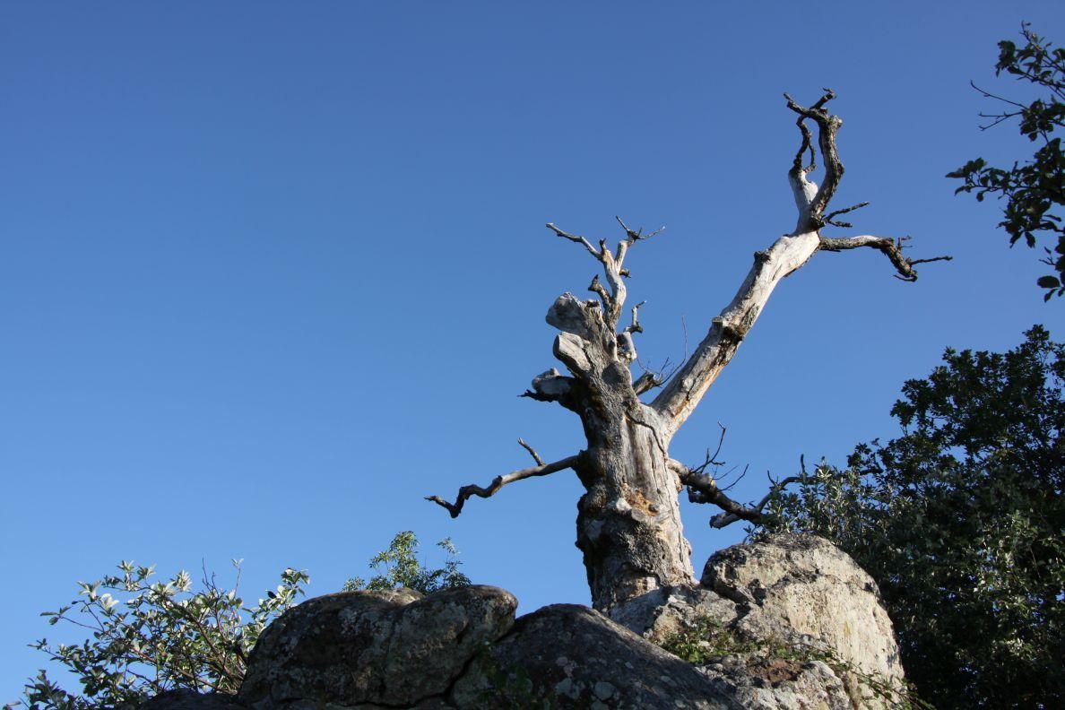 Le chêne Wotan, ou ce qu'il en reste, au sommet du piton rocheux du Rehbrunnel.