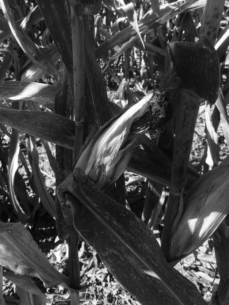 Lundi 29, mardi 30, mercredi 31 octobre 1956 - Récolter le maïs