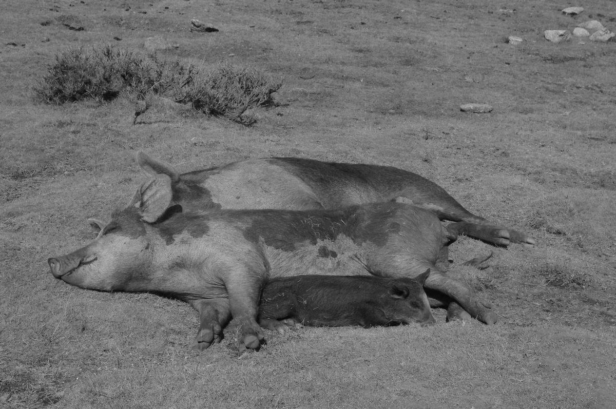 Lundi 14 janvier 1957 - Tuer le cochon