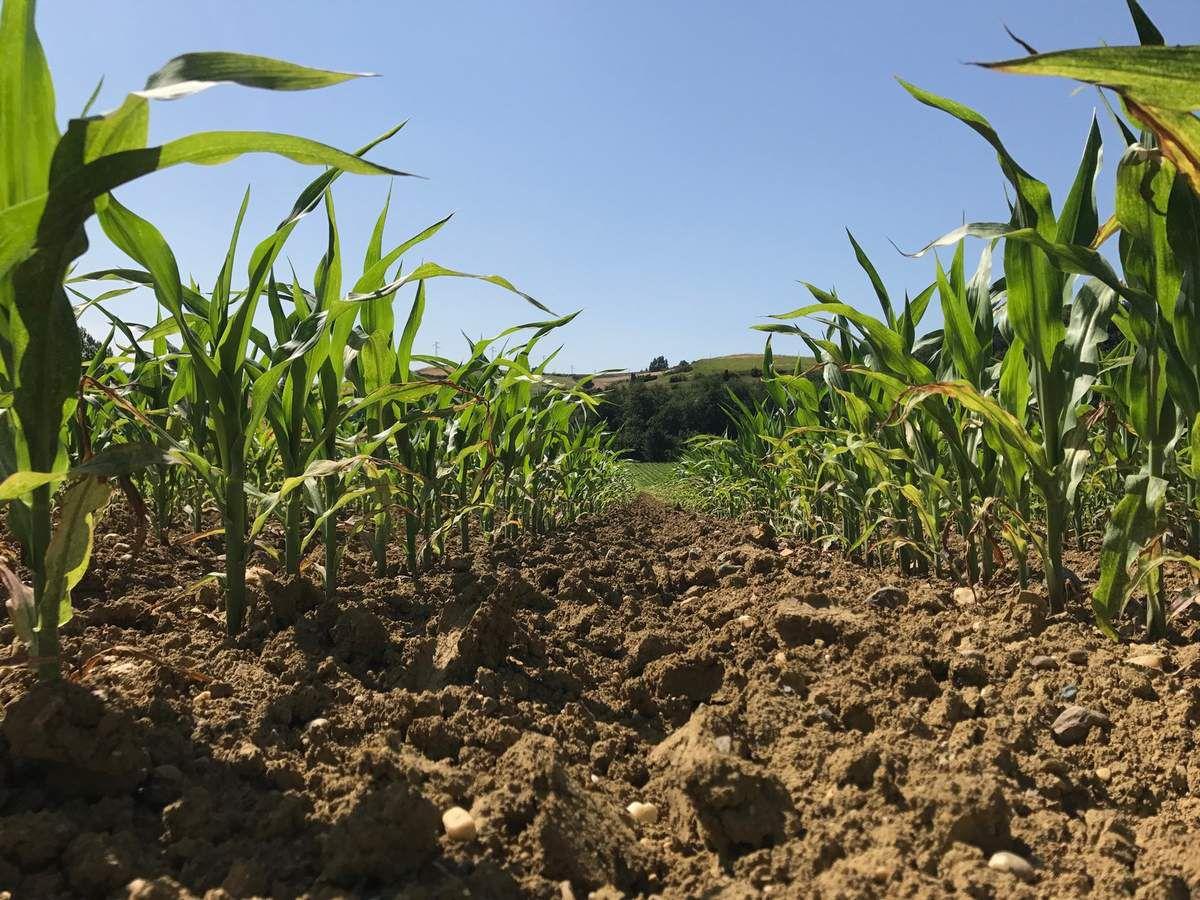 Jeudi 27 juin 1957 - Biner le maïs
