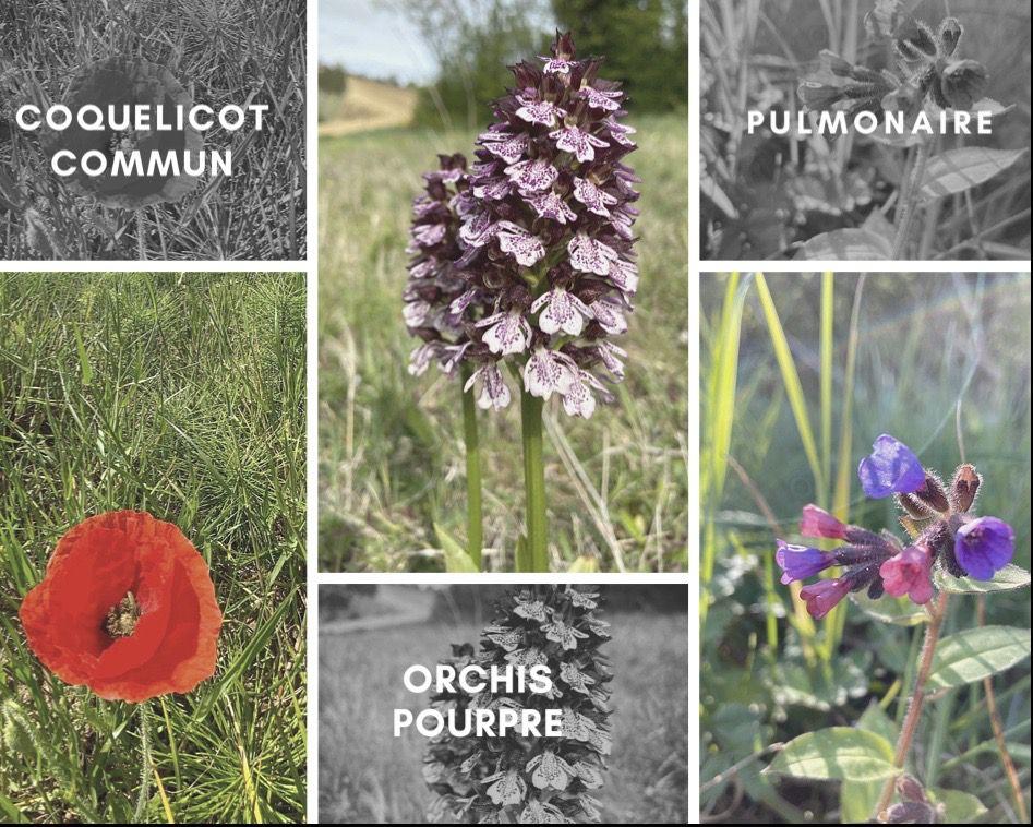 Lauragais d'Autrefois (69) : ces dictons occitans du joli mois de mai et des hautes herbes