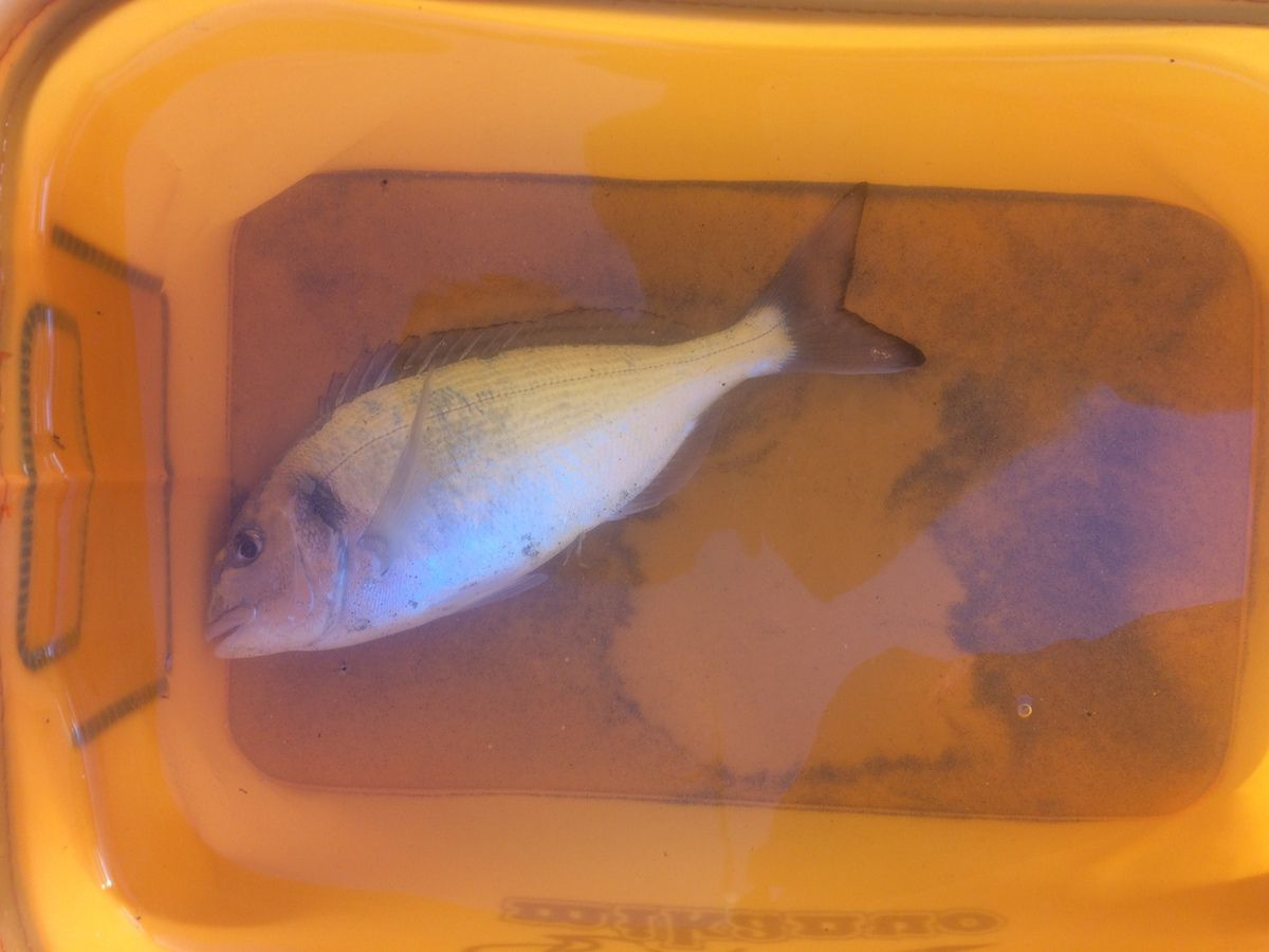 Premier poisson de la soirée : une dorade de 27cm
