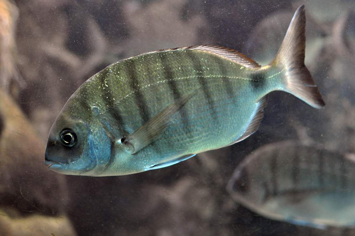 Source : © Citron, CC BY-SA 3.0 <https://creativecommons.org/licenses/by-sa/3.0>, via Wikimedia Commons. https://commons.wikimedia.org/wiki/File:Diplodus_sargus_01.jpg