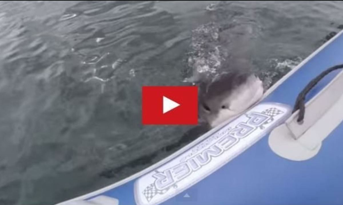 VIDEO - a Great White Shark attacks a rigid inflatable boat (RIB)