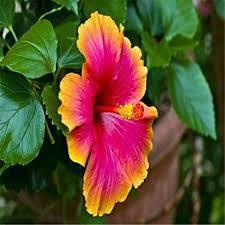 Hibiscus (du grec ἱϐίσκος / hibískos, signifiant guimauve)