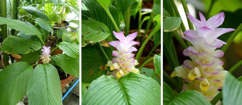 Fleur du jour (18-41) - Curcuma au jardin