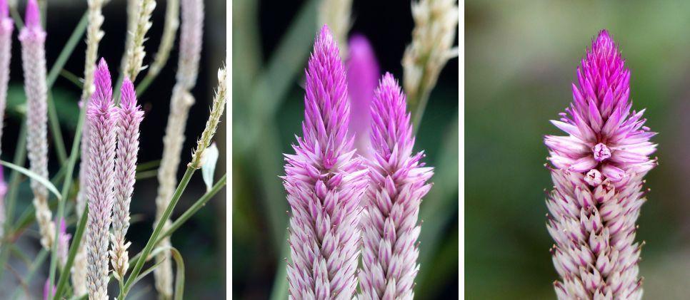 Fleur du jour (19-10) - Les crêtes de coq