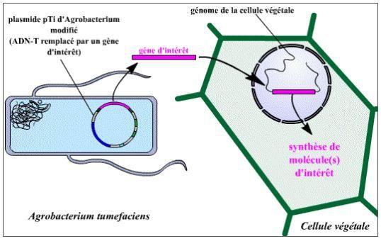 Schéma explicatif du fonctionnement de l'agroinfiltration (technique NBT)