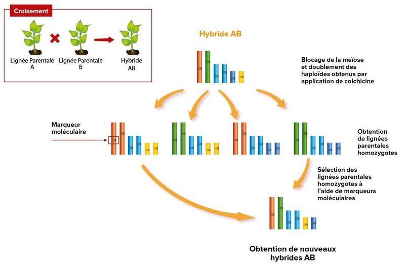 Schéma récapitulatif de la sélection inverse (Horizon biotechs)