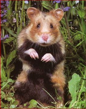 le grand hamster d'Europe