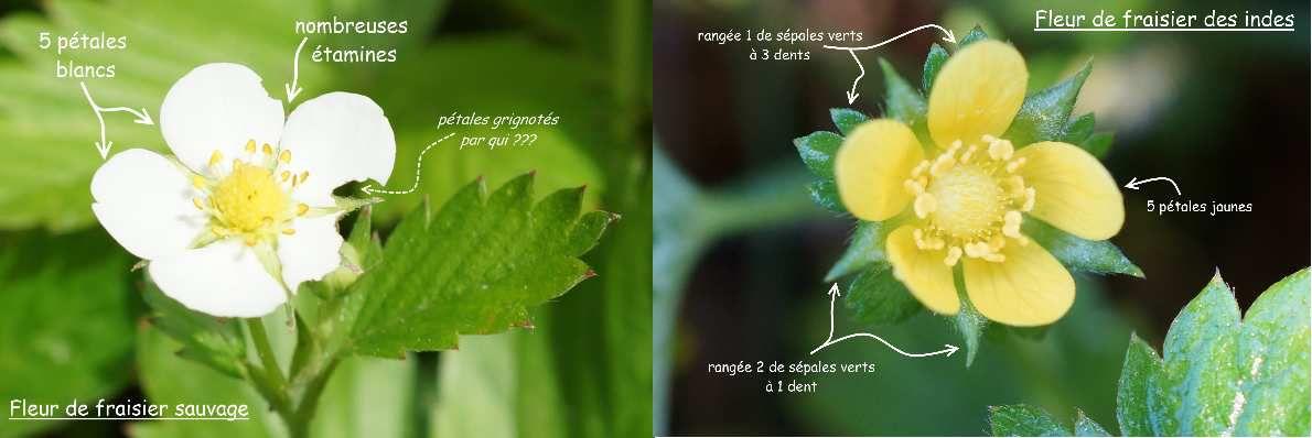 Comparaison de la fleur du fraisier sauvage et de la fleur des indes