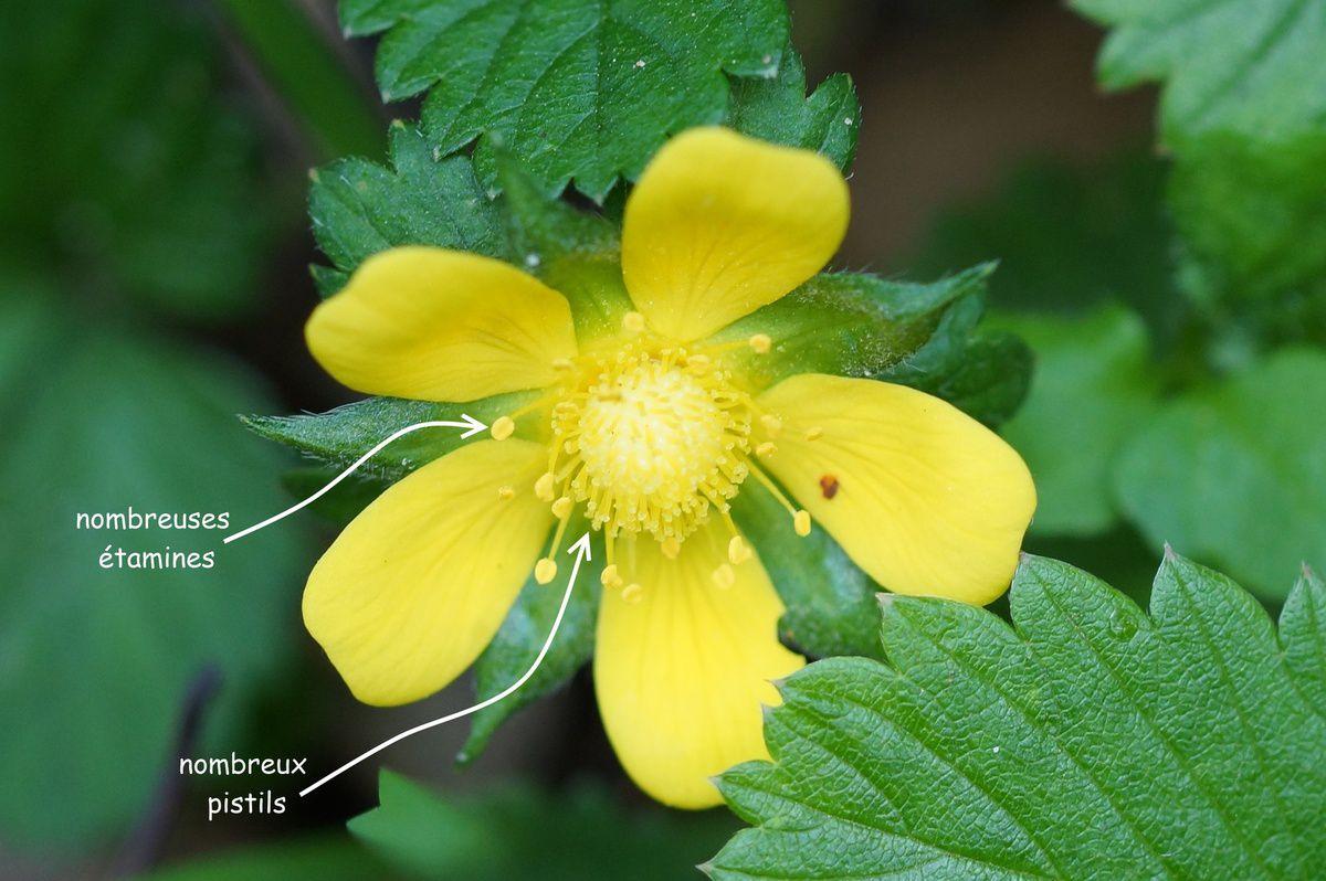 Fleur de fraisier des indes