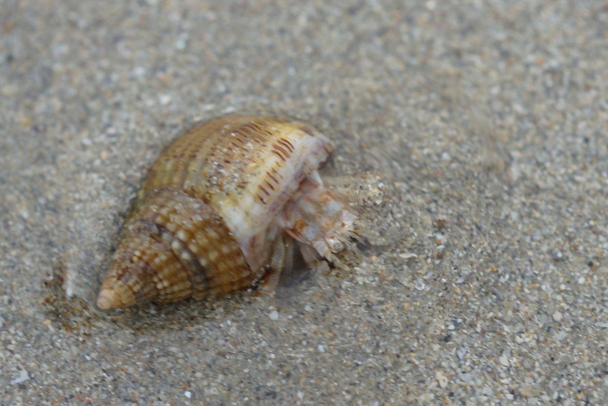 Bernard l'hermite s'enfouissant sous le sable