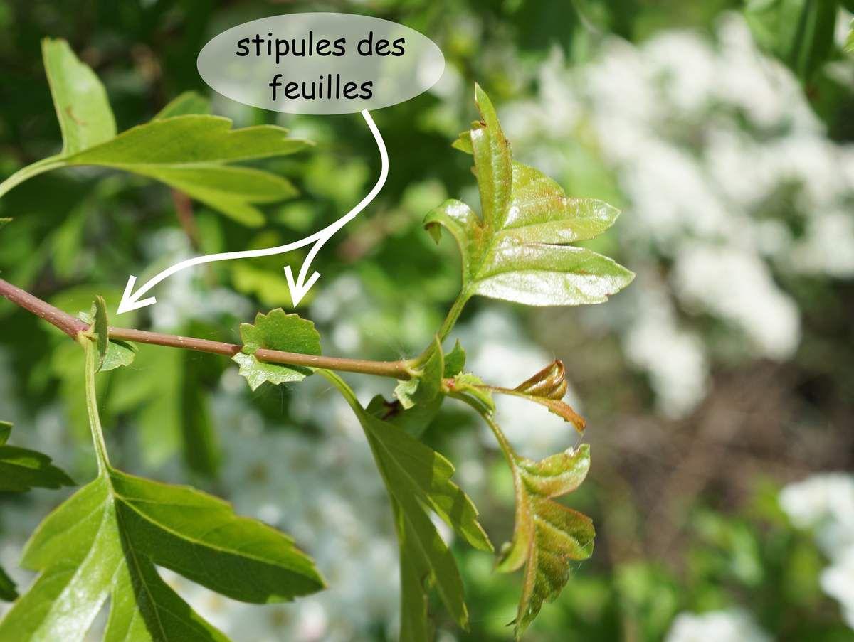 Stipules des feuilles de l'aubépine à 1 style
