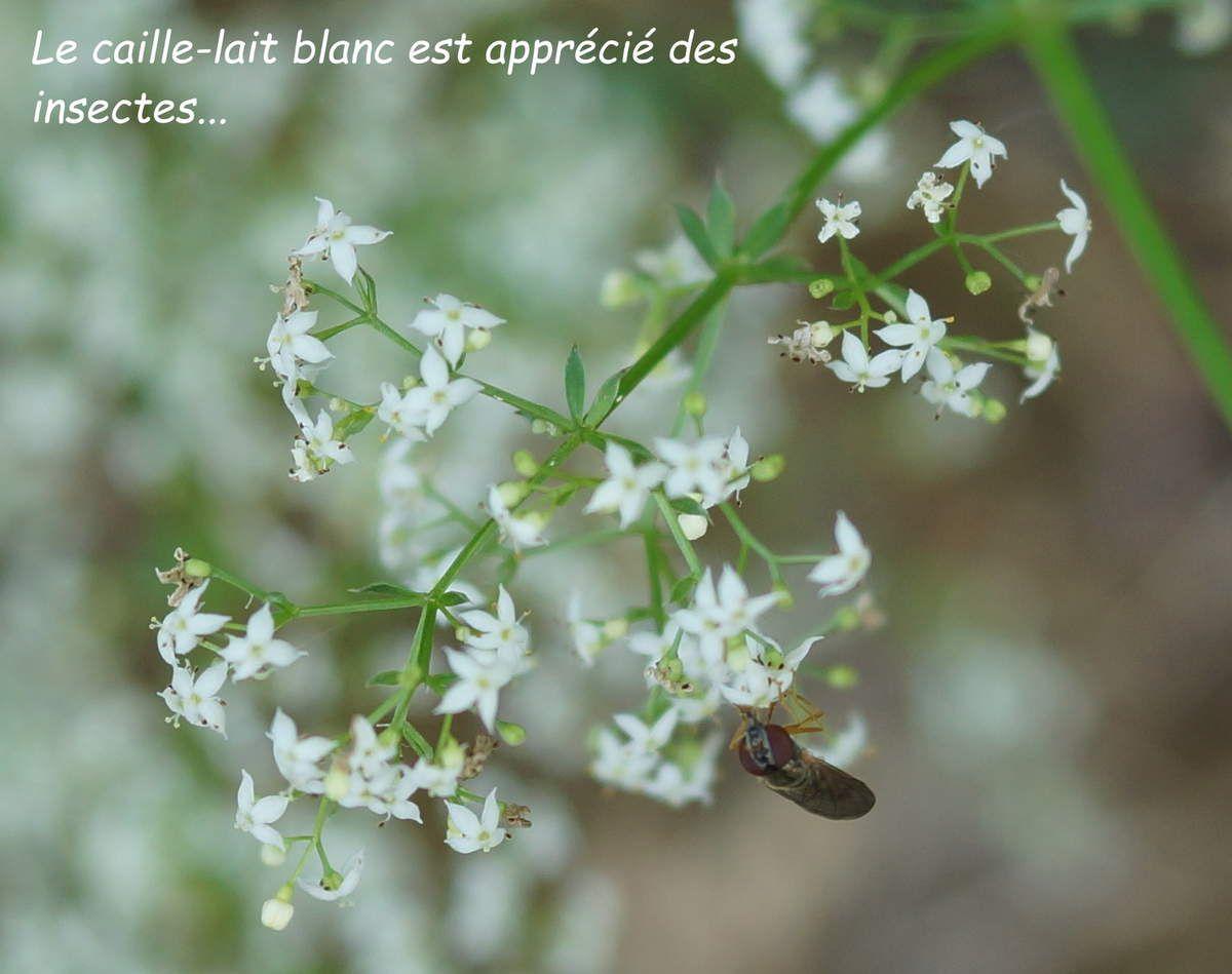 Le caille-lait blanc : garde manger pour insecte