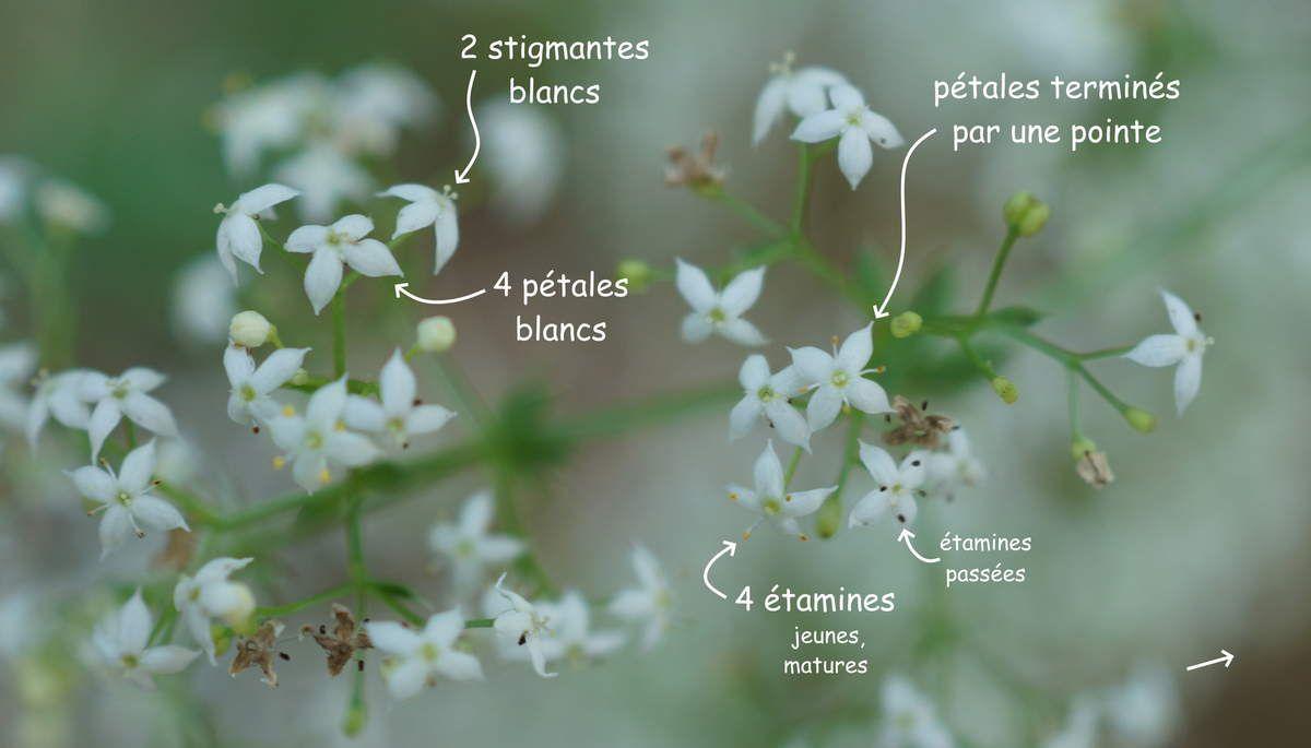 Fleurs du caille-lait blanc