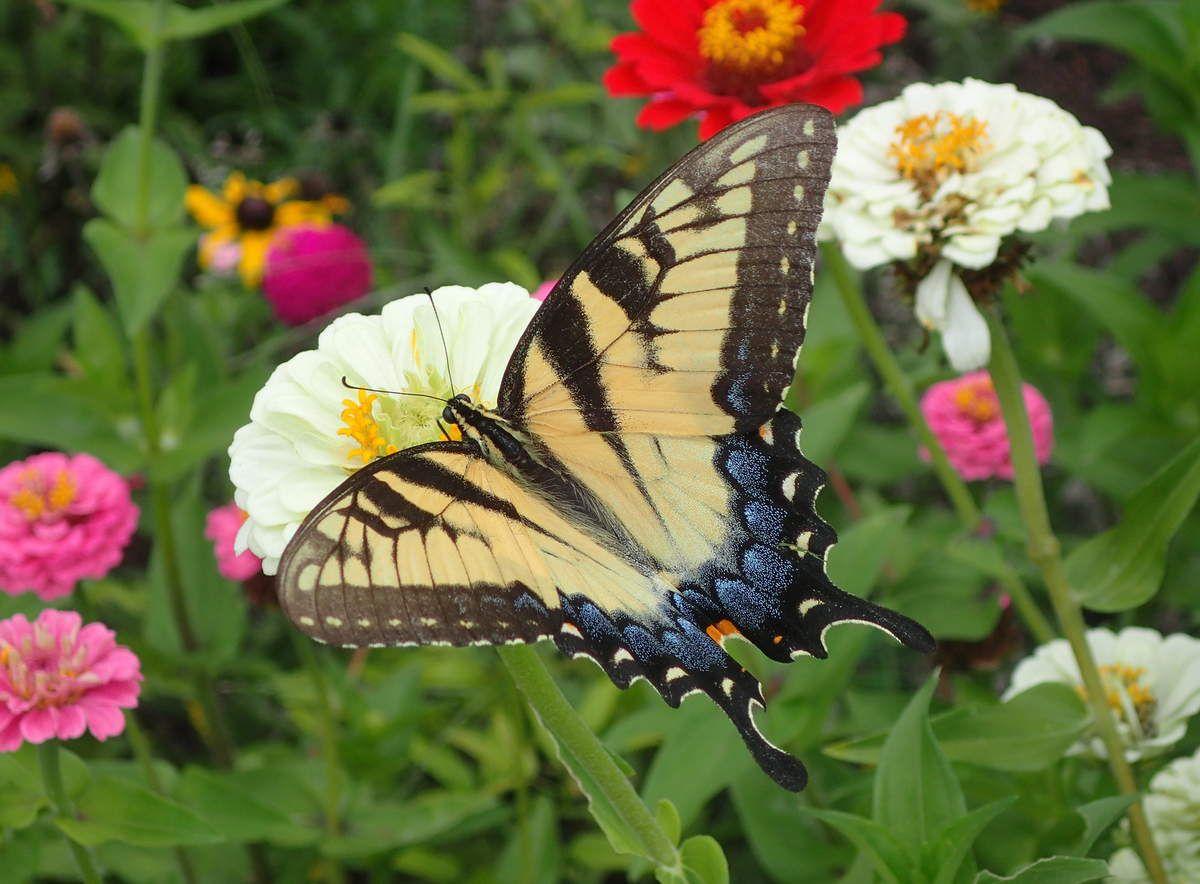 Tigre à Queue d'Hirondelle - Eastern Tiger Swallowtail