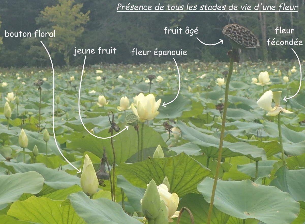 Le lac Honker et ses lotus