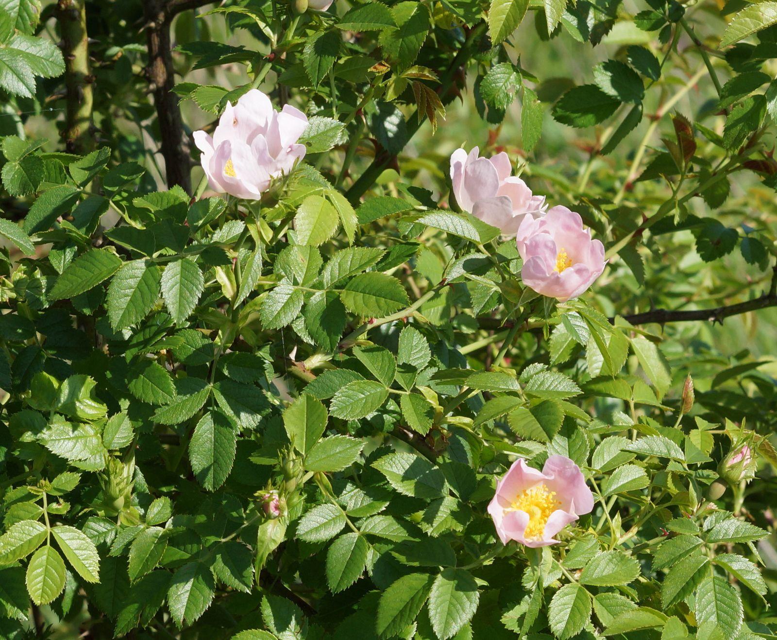 Famille des Rosaceae