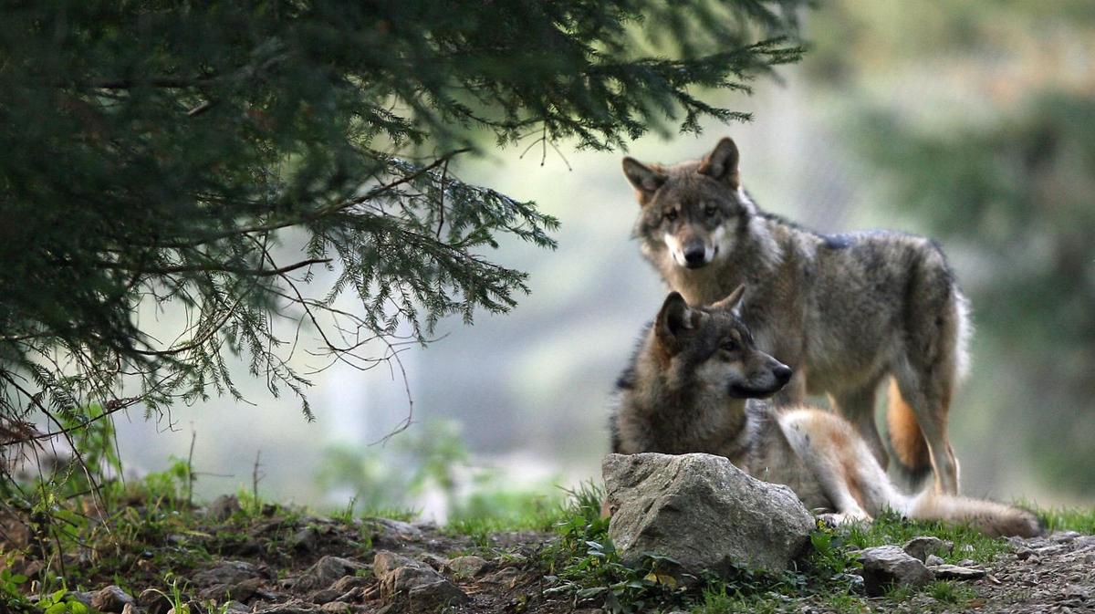 Loups: c'est comment ailleurs? (2nd épisode)