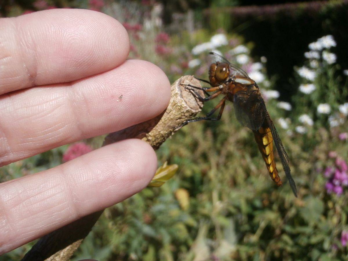 6cd92938e7127 Alors n ayez plus peur de la belle et imposante libellule