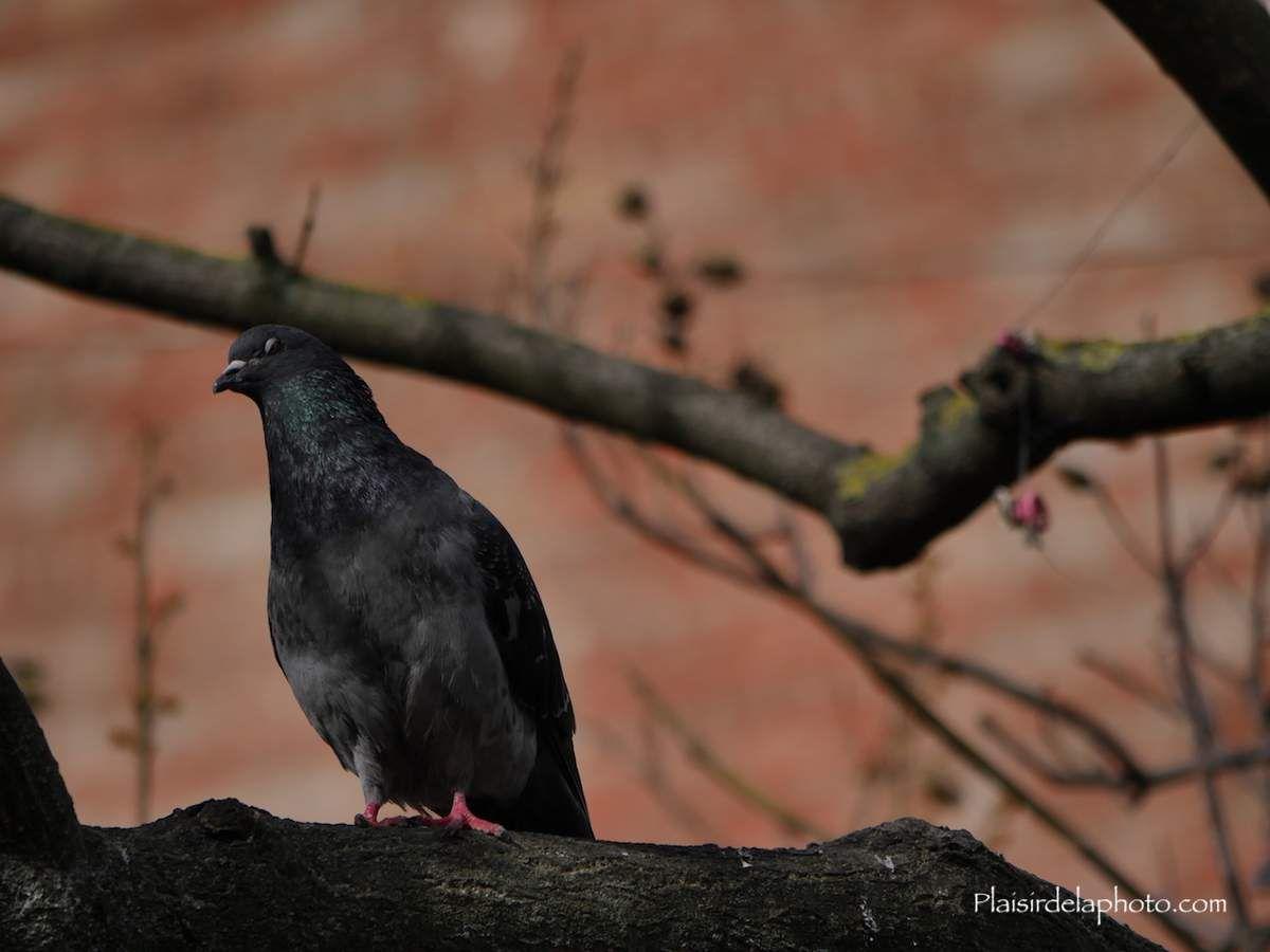 Pigeons de Paris - Hybride Lumix GX 8 - ISO 200; 300 mm (600 mm en 24x36); f6,3; 1/1 300 sec. Photo non retouchée, non recadrée, compressée.
