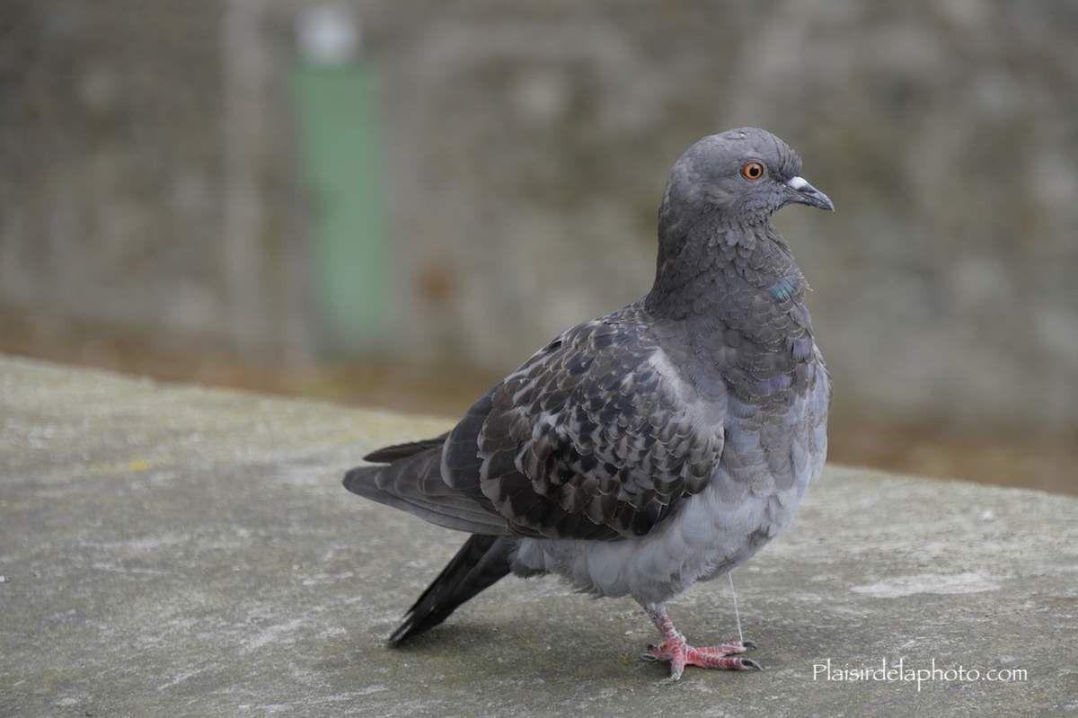 Pigeons de Paris - Hybride Lumix GX 8 - ISO 400; 92 mm (191 mm en 24x36); f5,4; 1/200 sec. Photo non retouchée, non recadrée, compressée.