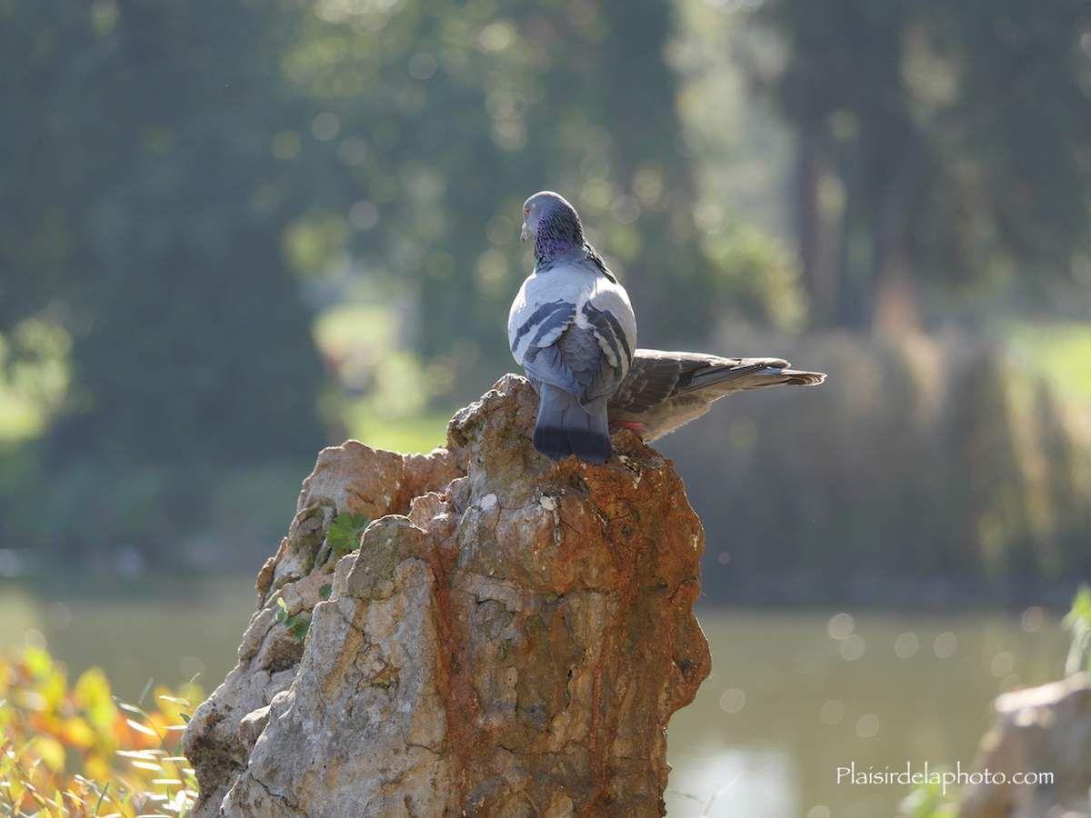 Pigeons de Paris - Hybride Lumix GX 8 - ISO 250; 127 mm (254 mm en 24x36); f4,3; 1/320 sec. Photo non retouchée, non recadrée, compressée.