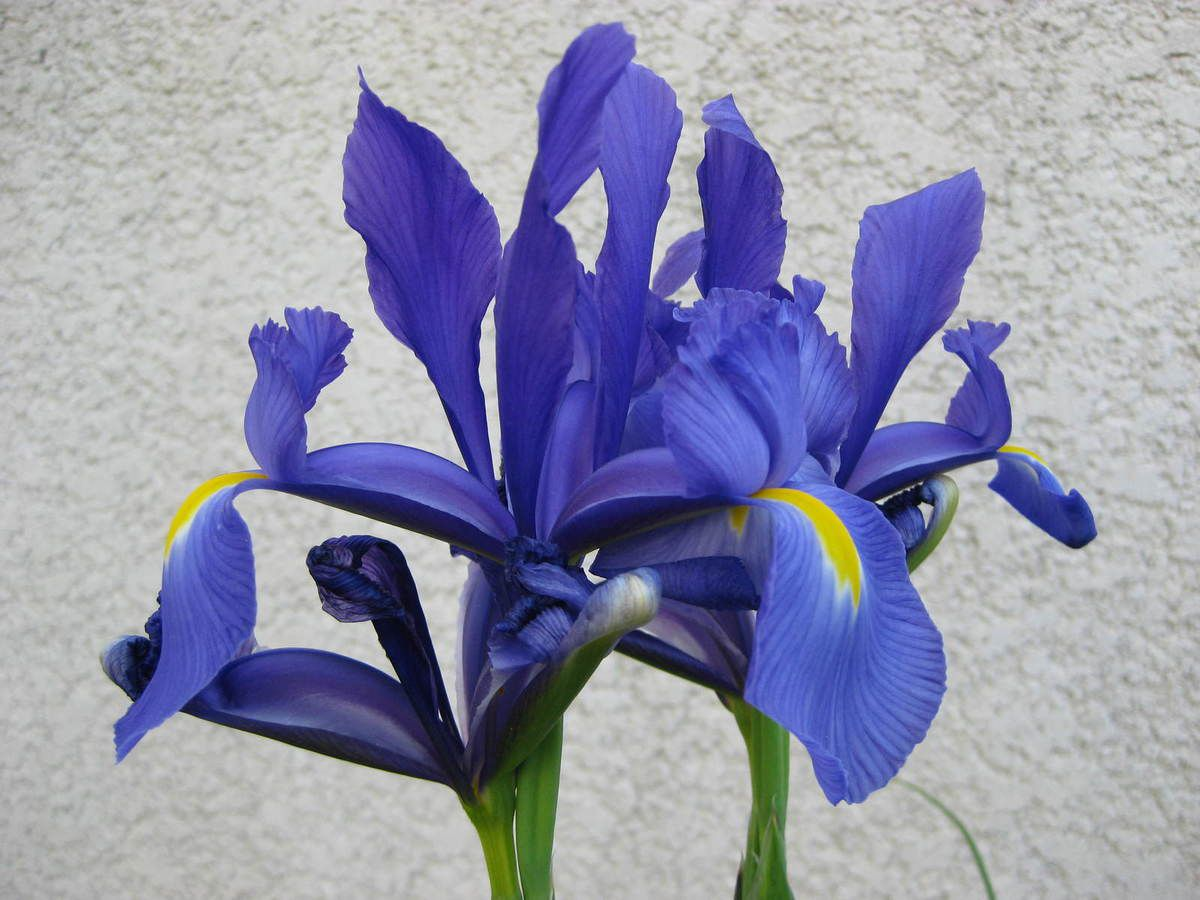 Iris bleu de Hollande