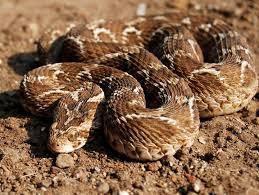 """""""Les dix serpents les plus dangereux"""" vendredi 18 janvier à partir de 22h50 sur France 4"""