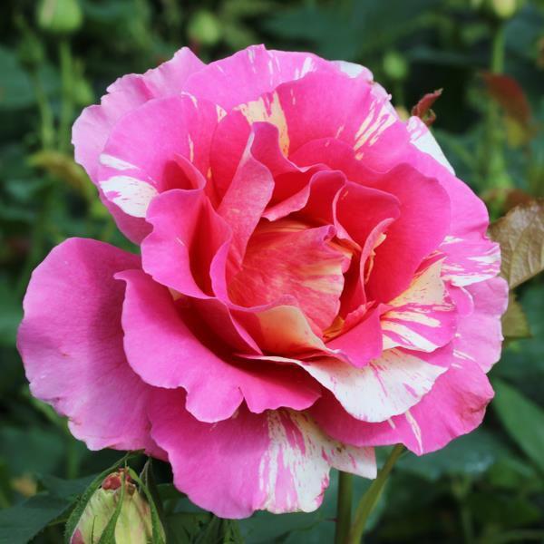"""Claude Monet   """"En dehors de la peinture et du jardinage, je ne suis bon à rien ! ."""""""