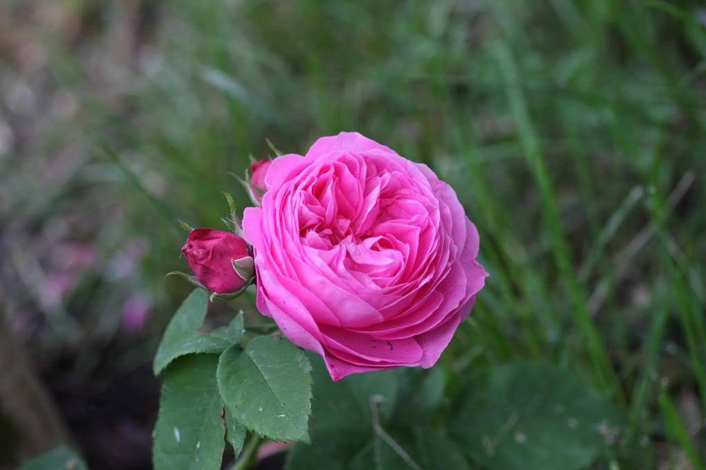 photo planete des rosiers