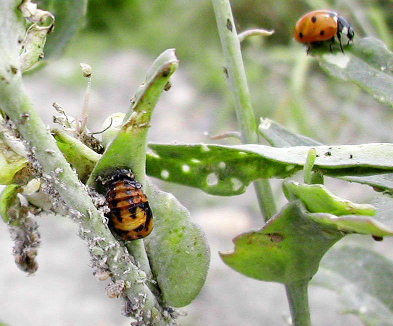 Coccinelle adulte et nymphe