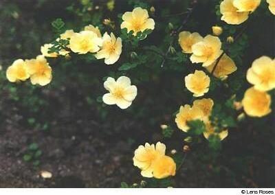 photo Lens rose