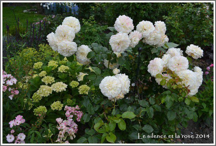 Photo le silence et la rose