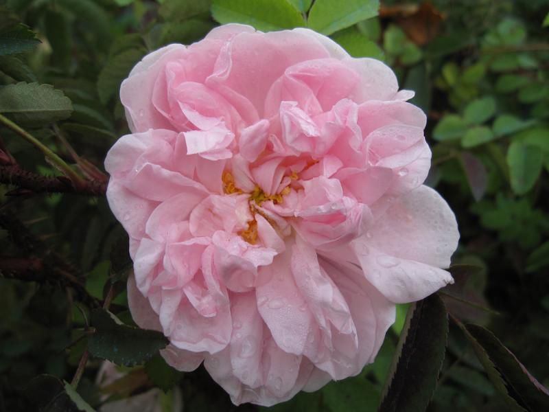 photo Barth l Hay les roses
