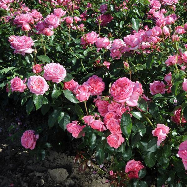photo Delbard Rosier La Rose de Molinard® delgraros ADR