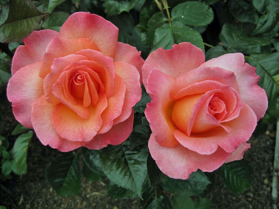photo South Pacific Roses ltd