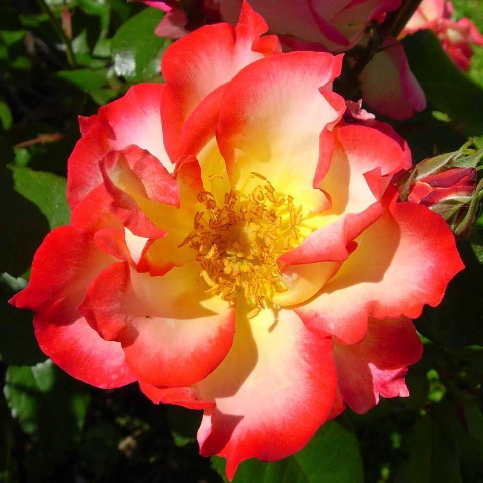 photo New Zeland Rose Society