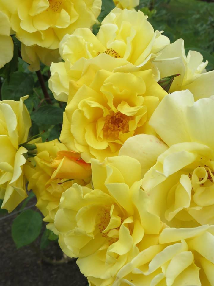photo face book New Zealand Rose Society