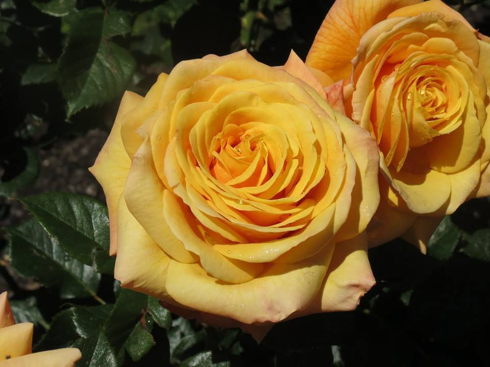 photo New Zeland Roses Society