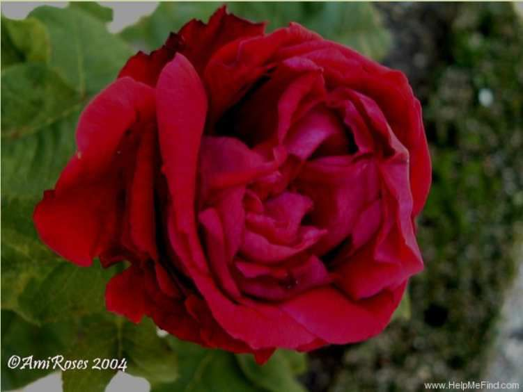 photo E. Bouret Ami Roses 2004