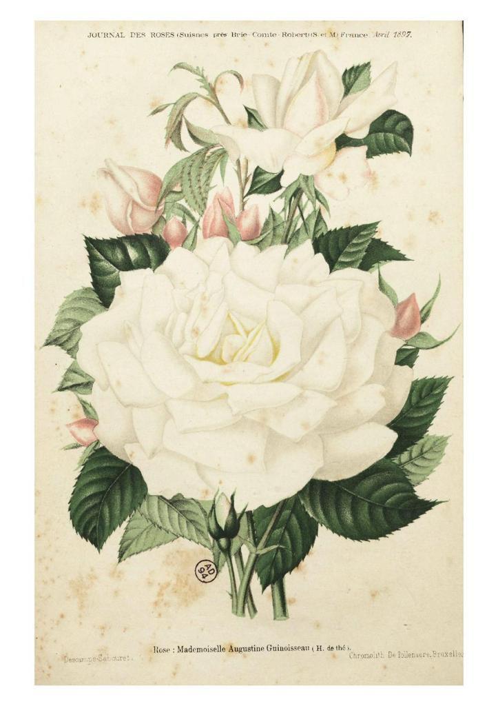 journal des roses 1897 04