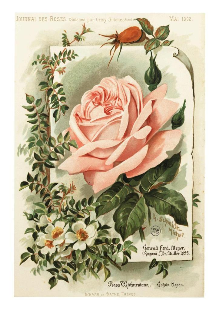 gravure journal des roses 05 1902