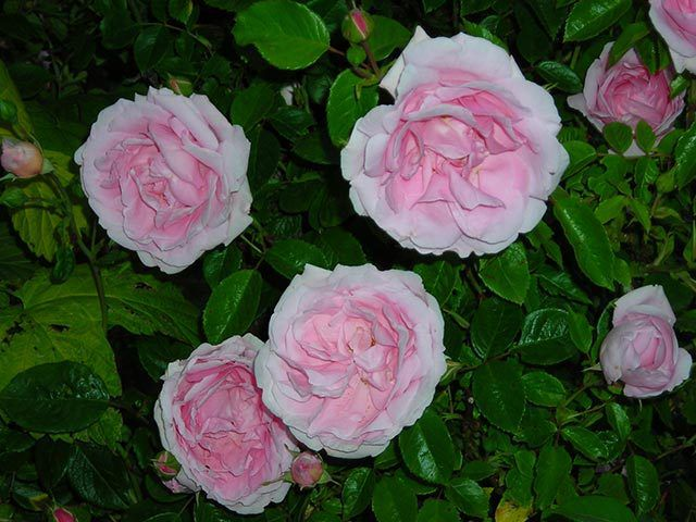 photo roses anciennes en France