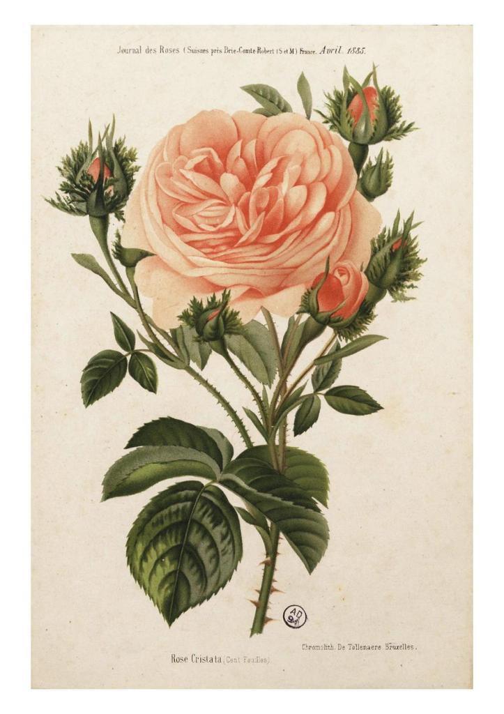gravure Le journal des roses 1885 04