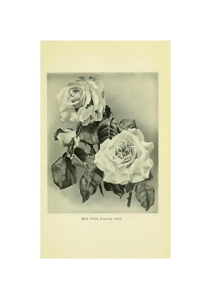 Gravure parue dans roses for english gardens 1902 by Gertrude Jekyll and Edward Mawley P 128